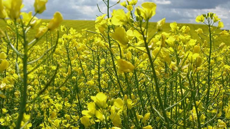 The Angara region will supply wheat and rape through Manchuria to China