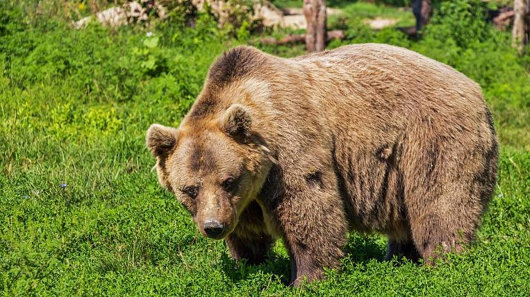 Bear attacked a fisherman near a cafe in Kamchatka