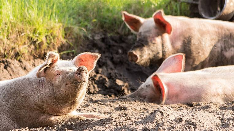 A new outbreak of African swine fever was discovered in Primorye