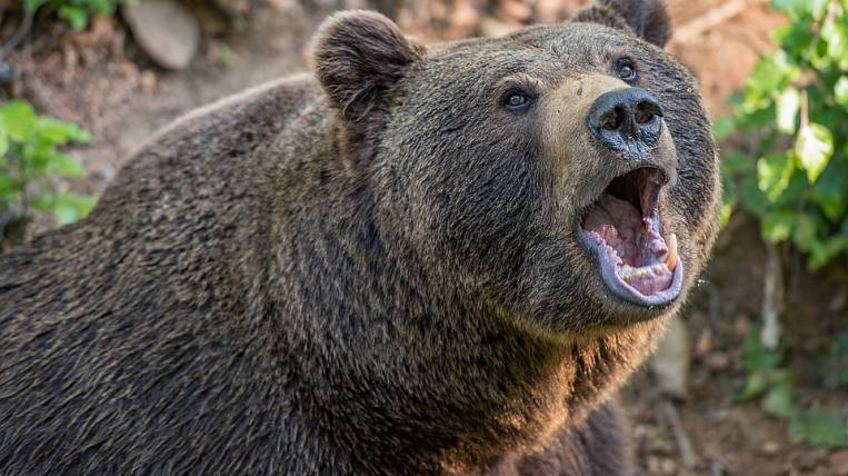 "In Kamchatka, authorities demand to shoot hundreds of ""extra"" bears"