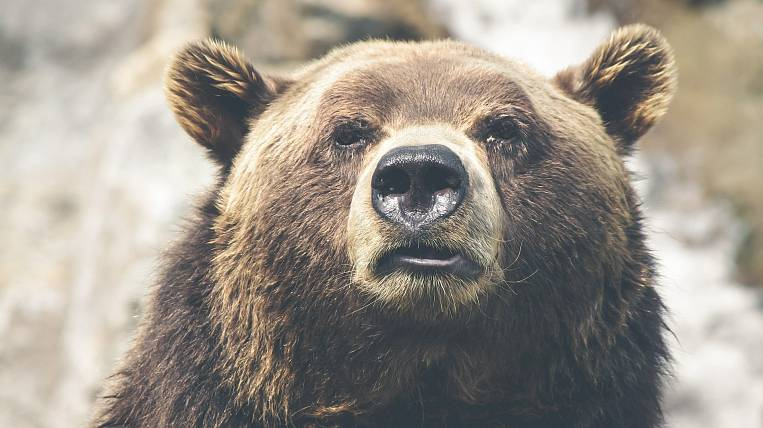 A bear hunt for seven million rubles is offered to tourists in Kamchatka