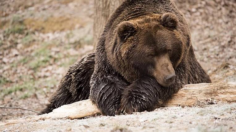 A cranked bear bitten by a man was shot dead in Angara