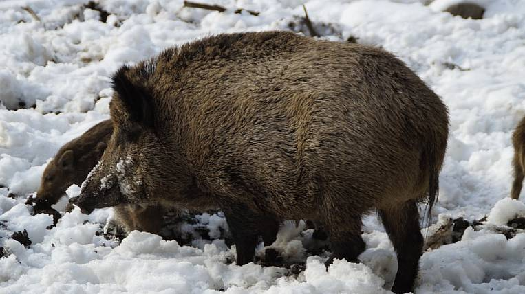African swine fever reached Khabarovsk Territory