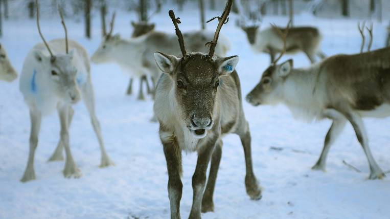 Reindeer breeders and young teachers for the Arctic will be trained in Yakutia