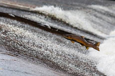 About 360 thousand tons of salmon are planned to be caught in Kamchatka