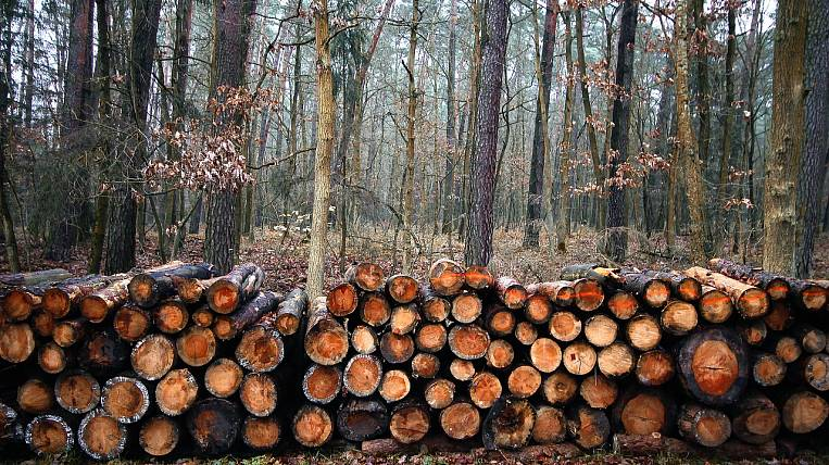 Illegal felling for 38 million rubles was stopped in Primorye