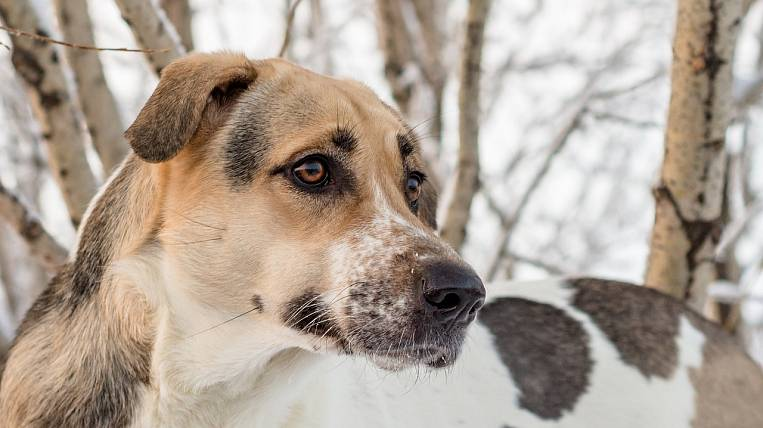 After the euthanasia of dogs in the Yakut shelter, the official was fired