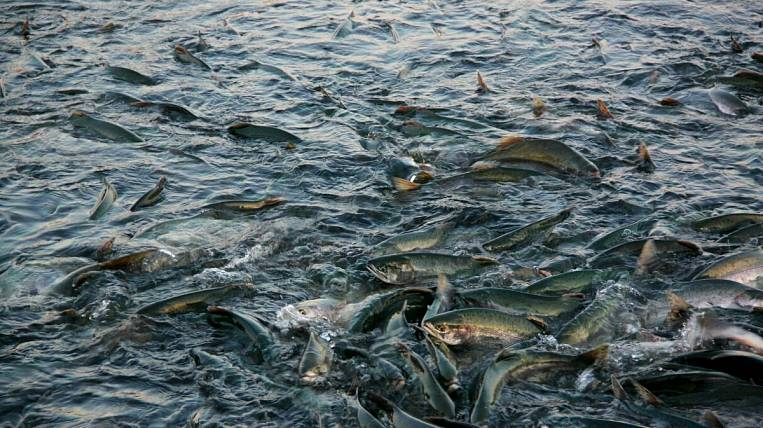 In the waters of Sakhalin in 2016g, the catch of Pacific salmon can reach up to 100 thousand tons - the director of SakhNIRO