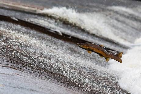 Salmon catches for indigenous peoples approved in Kamchatka