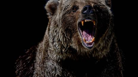 Become the prey of the bear and survive