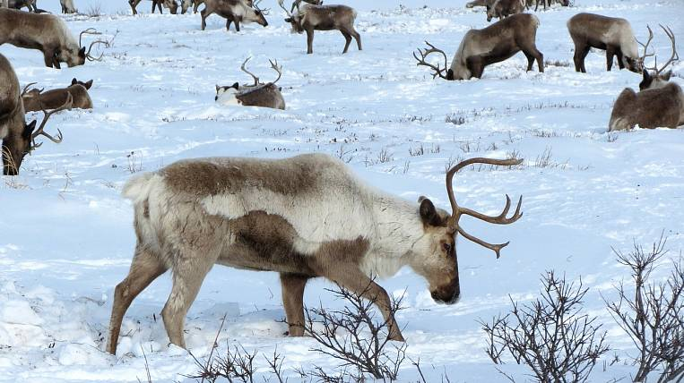 Far East nomadic reindeer herders will be provided with drones