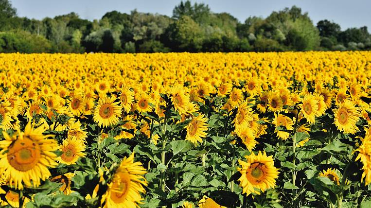 Sunflower prices rose record-breaking in Russia