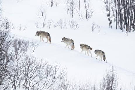 Wolfhounds will receive a special status in the Amur region