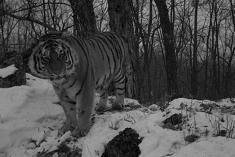 The tiger went to the village in the Khabarovsk Territory (VIDEO)