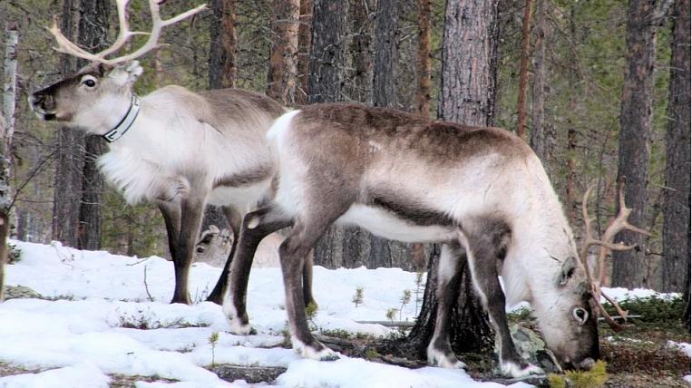 Reindeer herders raised their salaries in Chukotka