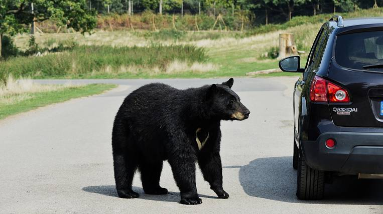 Bear attacked a man in Primorye