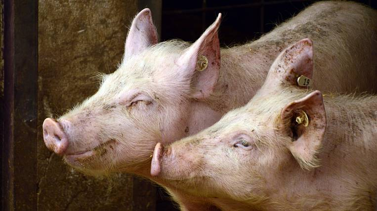 Farmers of Amur Region will be supported due to swine fever