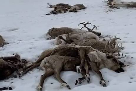 The cause of the mass death of deer is being investigated in Kamchatka