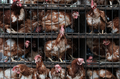 More than 4 thousand chickens suffocated due to blackouts in Sakhalin
