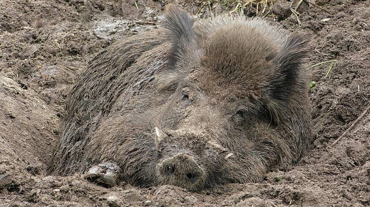 Wild boar hunting restricted in Primorye due to swine fever