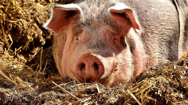 In the Khabarovsk Territory, 15 foci of swine fever eliminated