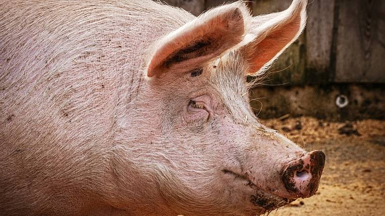 Primorye residents will be paid for pigs destroyed due to ASF