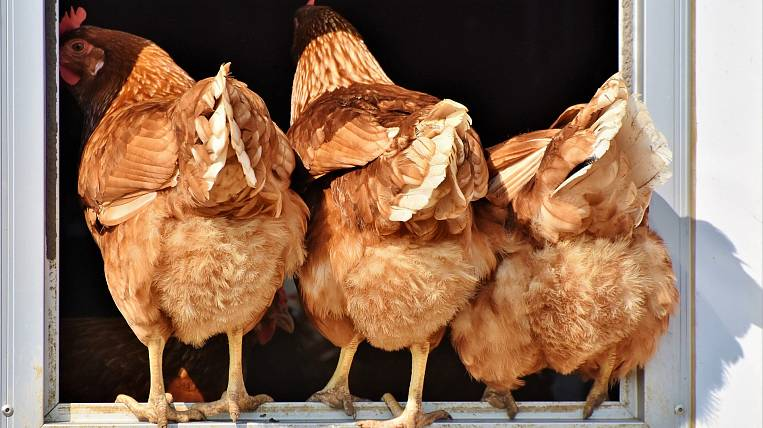 Chicken production increased by 46% in Primorye
