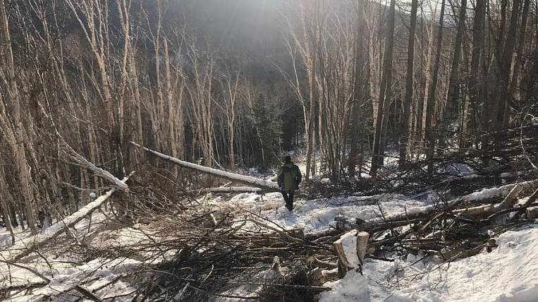 Unknown people cut down a forest in a natural monument on Sakhalin