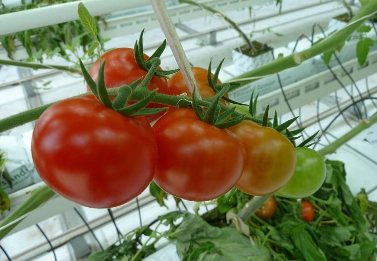 Primorye's hydroponic answer to the Chinese vegetable industry