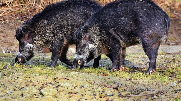 African swine fever will come to Khabarovsk Territory with frost