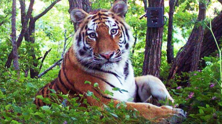 Amur tiger numbers increase in the southwest of Primorye