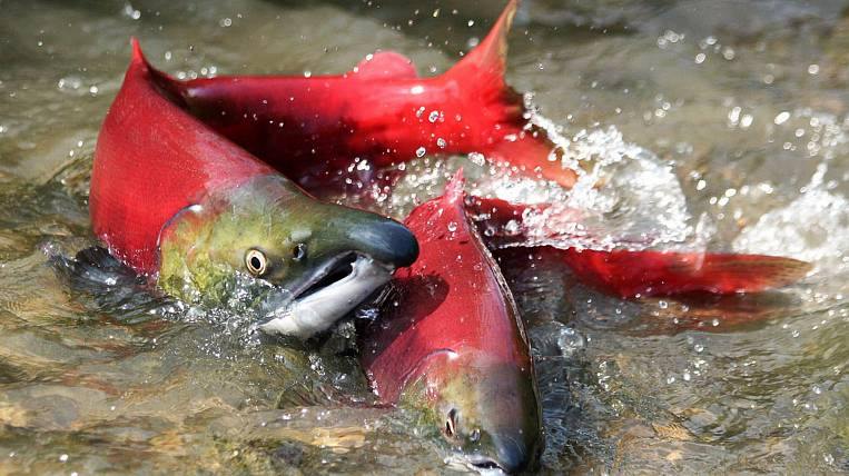 The catch of Pacific salmon in 2015 shrank by 6% - Rosrybolovstvo