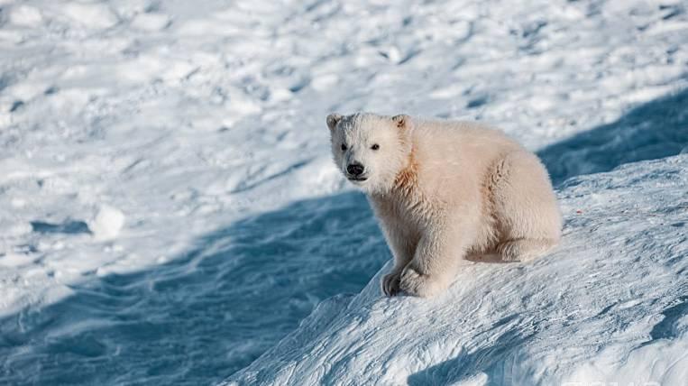 A polar bear cub leaves the Yakut zoo for Khabarovsk