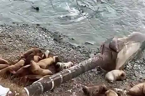 Sea lions do not allow Vodokanal to replace the pipe in Kamchatka