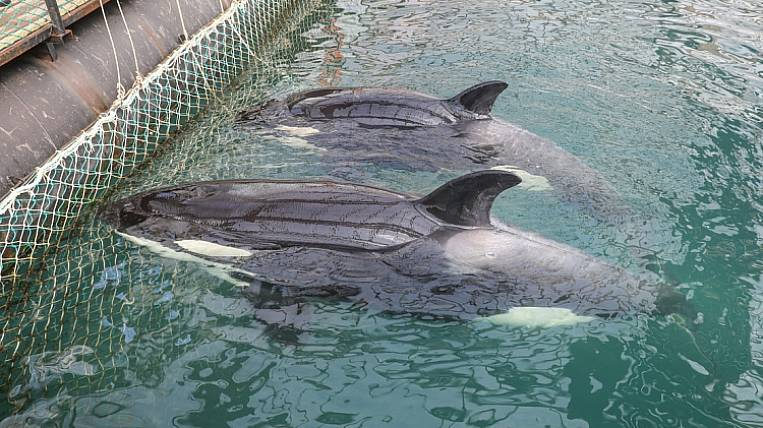 """Killer whales and white whales from the """"whale prison"""" in Primorye will be released near Shantar"""