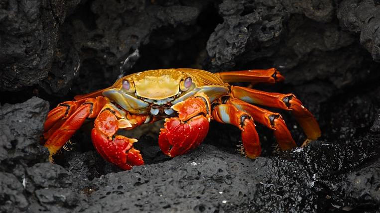 The son of the head of Primorye received quotas for the extraction of crab in the Far Eastern Federal District