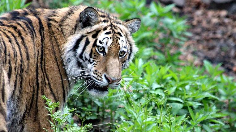 Tigers released in the Amur region, settle down and successfully hunt